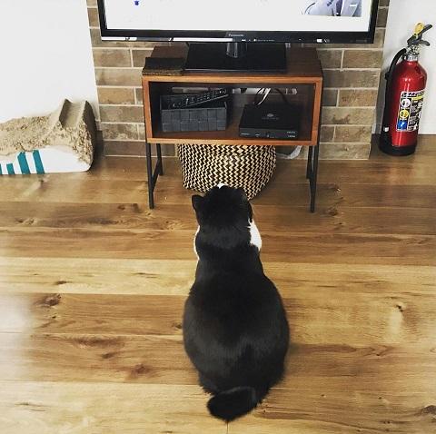 テレビっ猫